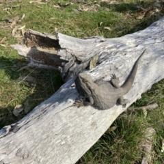 Pogona barbata (Bearded Dragon) at Holt, ACT - 3 Sep 2021 by Jenny54