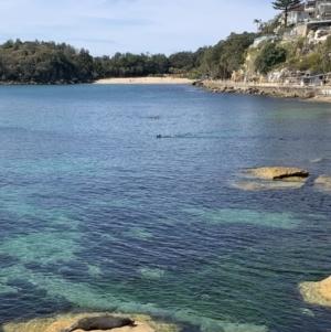 Arctocephalus forsteri at Manly, NSW - 30 Aug 2021