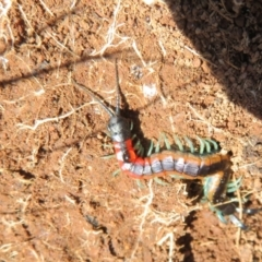 Scolopendra sp. (genus) (Centipede) at Holt, ACT - 3 Sep 2021 by Christine