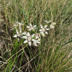 Wurmbea dioica subsp. dioica (Early Nancy) at Holt, ACT - 3 Sep 2021 by Christine