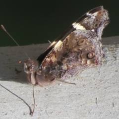 Vanessa itea (Yellow Admiral) at Holt, ACT - 3 Sep 2021 by Christine