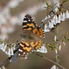 Vanessa kershawi (Australian Painted Lady) at Cook, ACT - 2 Sep 2021 by Tammy