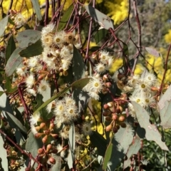 Eucalyptus melliodora (Yellow Box) at Evatt, ACT - 3 Sep 2021 by KMcCue
