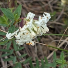 Pimelea linifolia (Slender Rice Flower) at Downer, ACT - 3 Sep 2021 by abread111