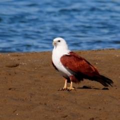 Haliastur indus (Brahminy Kite) at Nudgee Beach, QLD - 8 Jul 2014 by Harrisi