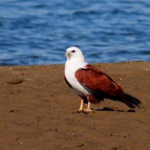 Haliastur indus (Brahminy Kite) at Nudgee Beach, QLD by Harrisi