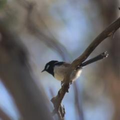 Malurus cyaneus (Superb Fairywren) at Gundaroo, NSW - 3 Sep 2021 by Gunyijan