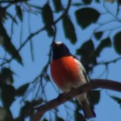 Petroica boodang (Scarlet Robin) at Gundaroo, NSW - 1 Sep 2021 by Gunyijan