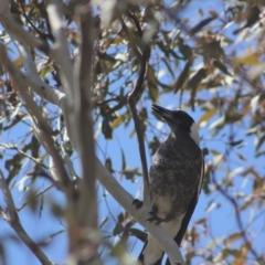 Gymnorhina tibicen (Australian Magpie) at Gundaroo, NSW - 1 Sep 2021 by Gunyijan