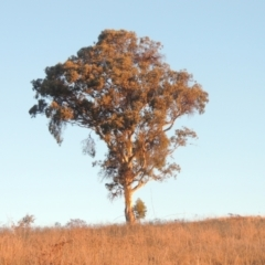 Eucalyptus polyanthemos (Red Box) at Conder, ACT - 10 Aug 2021 by michaelb