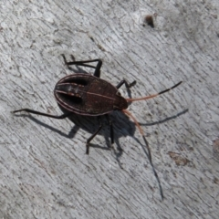Theseus modestus (Gum tree shield bug) at Holt, ACT - 2 Sep 2021 by Christine