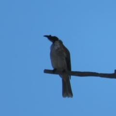 Philemon corniculatus (Noisy Friarbird) at Hawker, ACT - 2 Sep 2021 by Christine