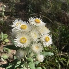 Coronidium elatum subsp. elatum (Tall Everlasting) at Woodlands, NSW - 1 Sep 2021 by KarenG