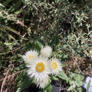 Coronidium elatum subsp. elatum at Woodlands, NSW - 1 Sep 2021