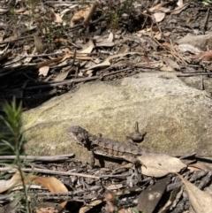 Rankinia diemensis (Mountain Dragon) at Mittagong, NSW - 1 Sep 2021 by KarenG