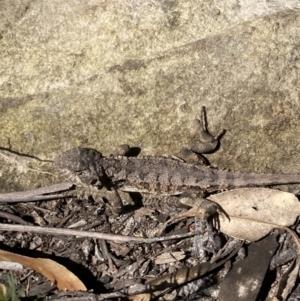 Rankinia diemensis at Mittagong, NSW - 1 Sep 2021