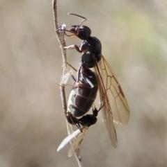 Iridomyrmex purpureus (Meat Ant) at Cook, ACT - 1 Sep 2021 by CathB