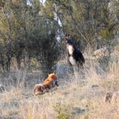 Vulpes vulpes (Red Fox) at Tuggeranong DC, ACT - 3 Sep 2021 by HelenCross