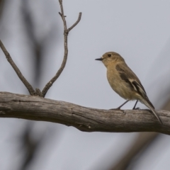 Petroica phoenicea (Flame Robin) at Majura, ACT - 31 Aug 2021 by trevsci