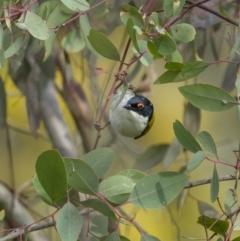 Melithreptus lunatus (White-naped Honeyeater) at Majura, ACT - 31 Aug 2021 by trevsci