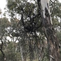 Amyema miquelii (Box Mistletoe) at Deakin, ACT - 30 Aug 2021 by Tapirlord