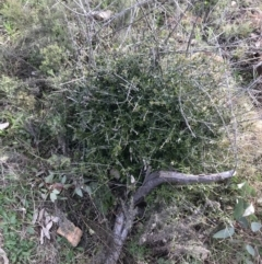 Olea europaea subsp. cuspidata (African Olive) at Deakin, ACT - 30 Aug 2021 by Tapirlord