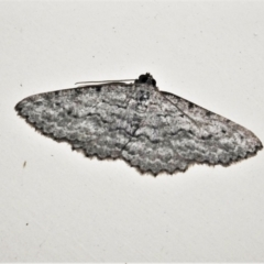Psilosticha absorpta (Fine-waved Bark Moth) at Wanniassa, ACT - 4 Sep 2021 by JohnBundock