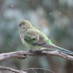 Psephotus haematonotus (Red-rumped Parrot) at Majura, ACT - 25 Aug 2021 by jbromilow50