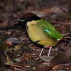 Pitta versicolor (Noisy Pitta) at Mount Glorious, QLD - 3 Jul 2014 by Harrisi