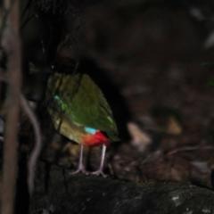 Pitta versicolor at Mount Glorious, QLD - 4 Jul 2014
