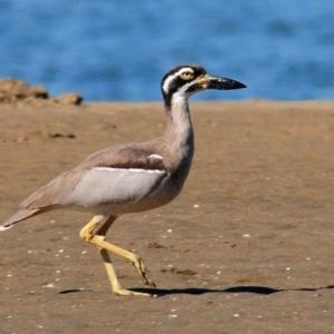 Esacus magnirostris (Beach Stone-curlew) at Nudgee Beach, QLD by Harrisi