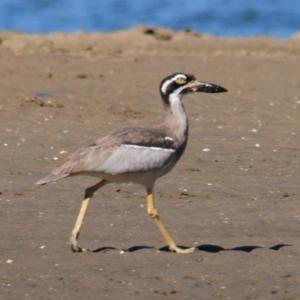 Esacus magnirostris at Nudgee Beach, QLD - 8 Jul 2014