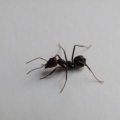 Iridomyrmex purpureus (Meat Ant) at Fraser, ACT - 3 Sep 2021 by Birdy