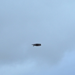 Falco peregrinus (Peregrine Falcon) at Holt, ACT - 4 Sep 2021 by wombey