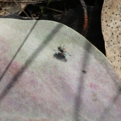 Unidentified True fly (Diptera) (TBC) at Wodonga, VIC - 5 Sep 2021 by Kyliegw