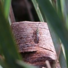 Unidentified Wasp (Hymenoptera, Apocrita) (TBC) at Wodonga, VIC - 5 Sep 2021 by Kyliegw