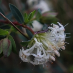 Pimelea linifolia subsp. linifolia (Queen of the Bush, Slender Rice-flower) at Downer, ACT - 5 Sep 2021 by Sarah2019