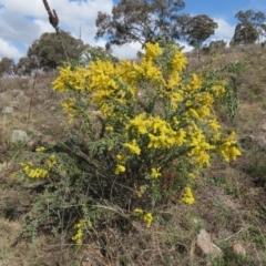 Acacia vestita (Hairy Wattle) at Theodore, ACT - 3 Sep 2021 by Owen