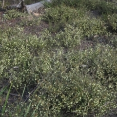 Acacia gunnii (Ploughshare Wattle) at Bruce, ACT - 21 Aug 2021 by pinnaCLE