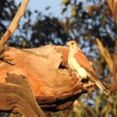 Falco cenchroides (Nankeen Kestrel) at Tuggeranong DC, ACT - 5 Sep 2021 by HelenCross