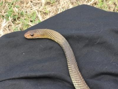 Demansia vestigiata (Black Whip Snake) at Douglas, QLD - 11 Jun 2021 by sayoung15