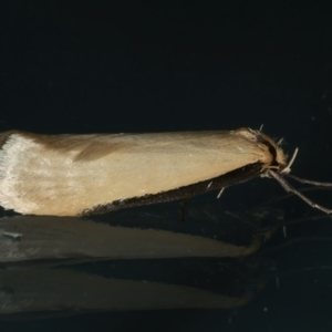 Philobota mathematica group undescribed species. at Ainslie, ACT - 29 Aug 2021