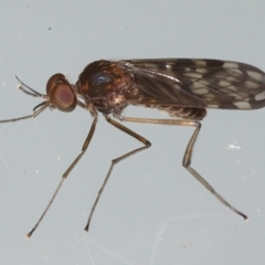 Sylvicola dubius (Wood-gnat) at Ainslie, ACT - 29 Aug 2021 by jbromilow50