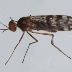 Sylvicola dubius at Ainslie, ACT - 29 Aug 2021