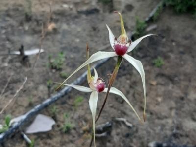 Caladenia valida (TBC) at Karatta, SA - 5 Sep 2021 by laura.williams