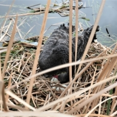 Cygnus atratus (Black Swan) at Gungahlin, ACT - 5 Sep 2021 by TrishGungahlin