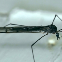Limoniidae sp. (Family) at Ainslie, ACT - 23 Aug 2021