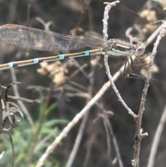 Austrolestes leda (Wandering Ringtail) at Bruce, ACT - 3 Sep 2021 by Ned_Johnston