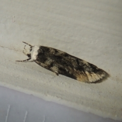 Endrosis sarcitrella (Whiteshouldered House Moth) at Conder, ACT - 20 Aug 2021 by michaelb