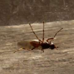 Unidentified True fly (Diptera) (TBC) at Boro, NSW - 2 Sep 2021 by Paul4K